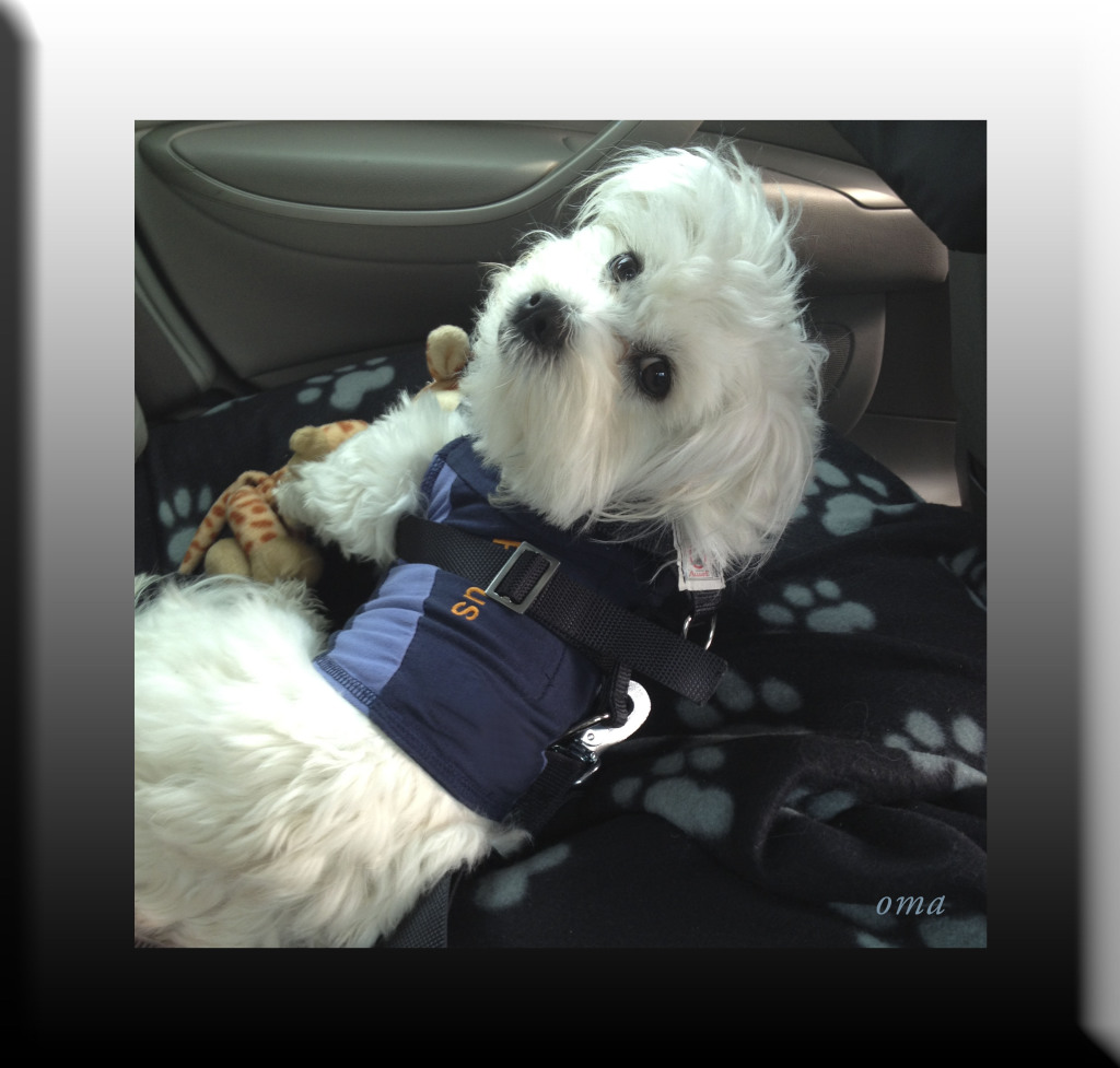 WP Rufus wears his seatbelt 08 JAN 2015